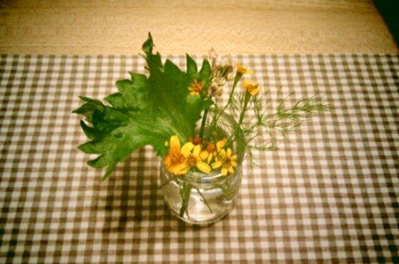 大自然的防蚊草-芳香萬壽菊